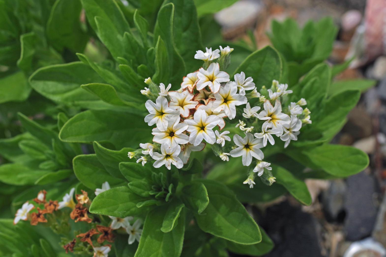 八朔鼻の海岸植物-1