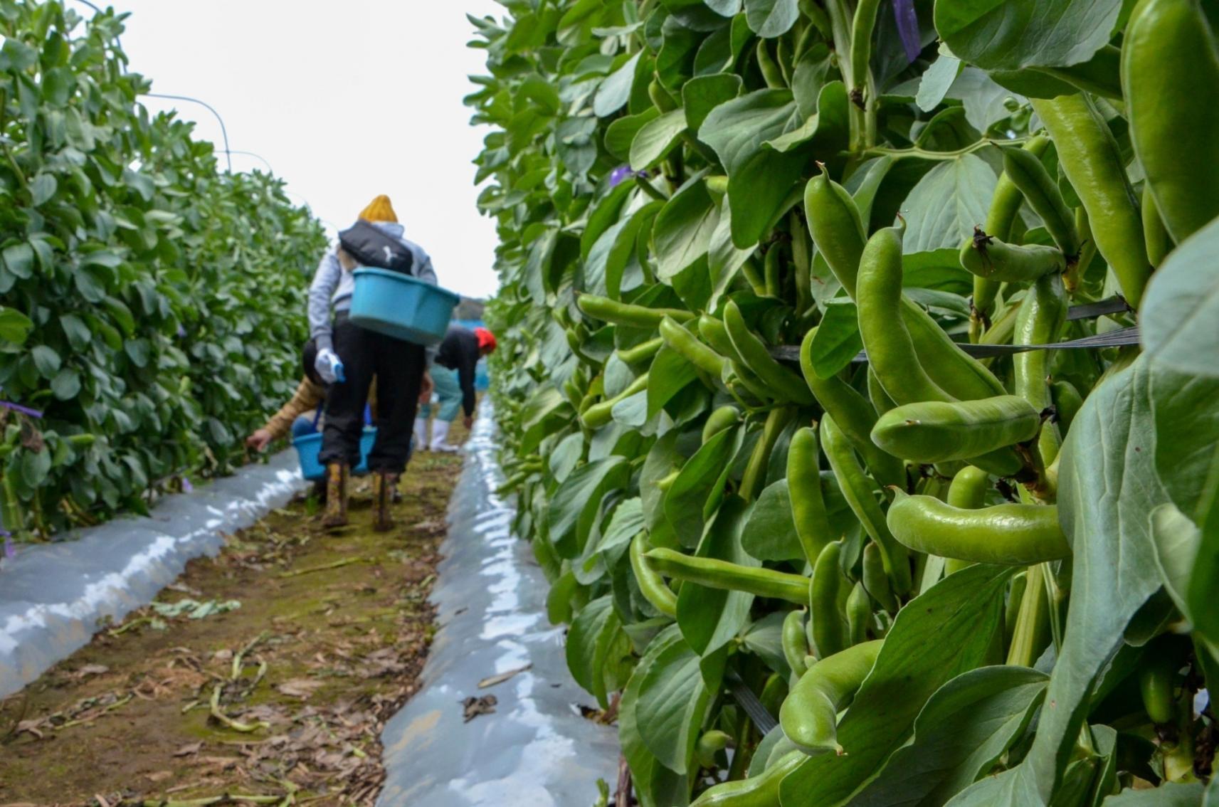 五島で育った自慢の野菜を収穫しませんか (宿泊&農業体験)-1